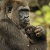 Mother and Baby Gorilla ©The Walt Disney Company