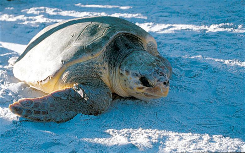 Sea a sea turtle on your Florida vacation!