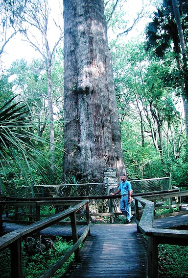 The Senator, Florida's Oldest Cypress Tree ©Holiday Tripper