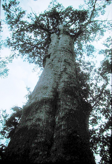 The Senator, Florida's oldest cypress tree ©HolidayTripper.com