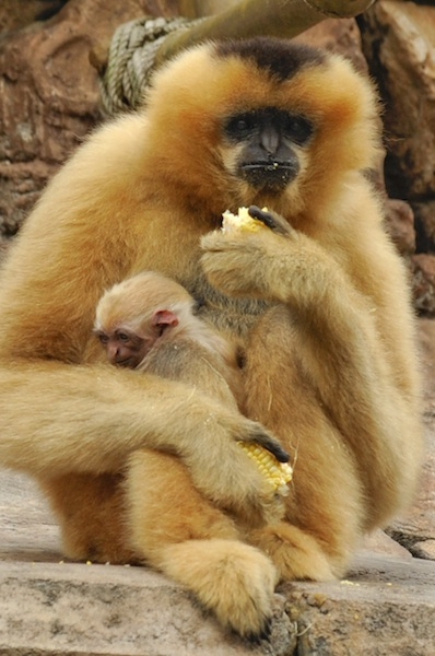 Baby Gibbon ©The Walt Disney Company