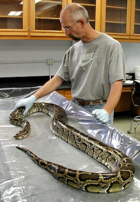 Herptologist, Dr.Skip Snow, in lab with python ©  National Park Service