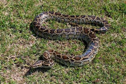 Python found in Everglades &#169 National Park Service
