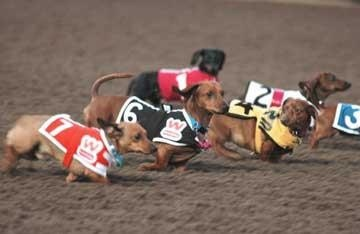 Dachshund racing! ©Celebration of Pets