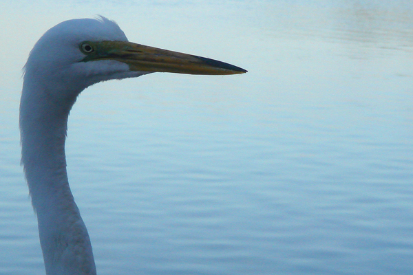 Egret Closeup &#169 Holiday Tripper