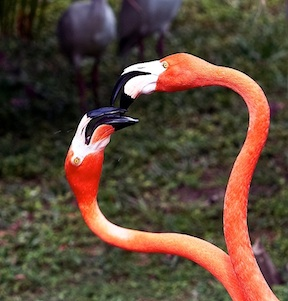 Flamingos (credit: Jungle Island)
