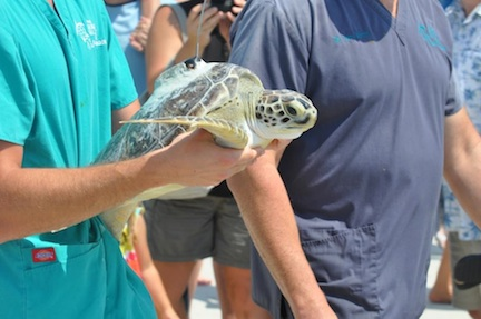 Sea Turtle Release (credit: Wild Amelia Nature Festival)
