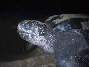 Leatherback Sea Turtle (credit: Sea Turtle Conservancy)