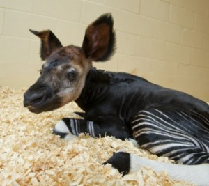 Okapi baby (credit: The Walt Disney Company)