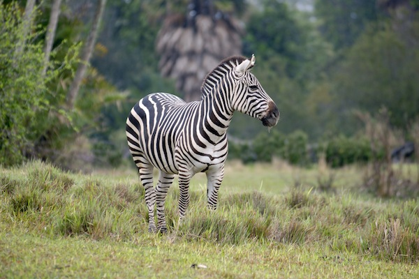 A zebra Disneys Animal Kingdom (credit: The Walt Disney World Company)