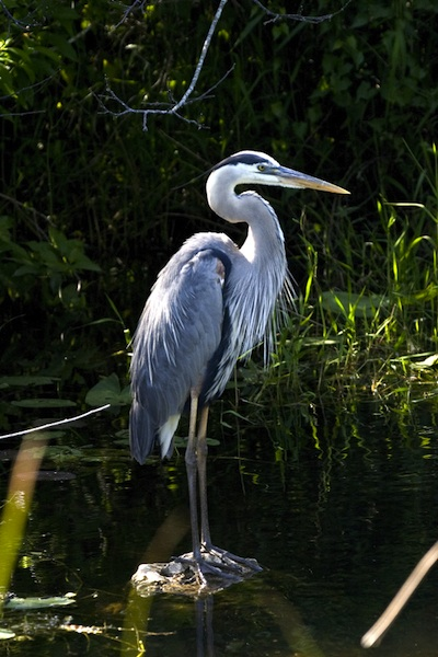 Great Blue Heron (credit: National Park Service)