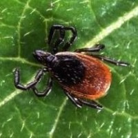 Black Legged Tick (credit: cirrusimage.com)