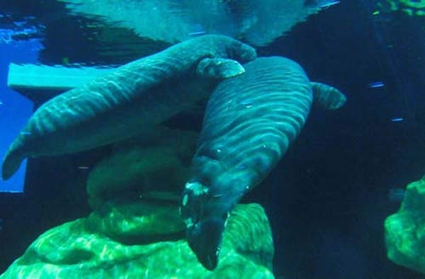 Manatee (credit: The Walt Disney Company)