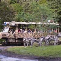 Zebras at Animal Kingdom (credit: The Walt Disney Company)